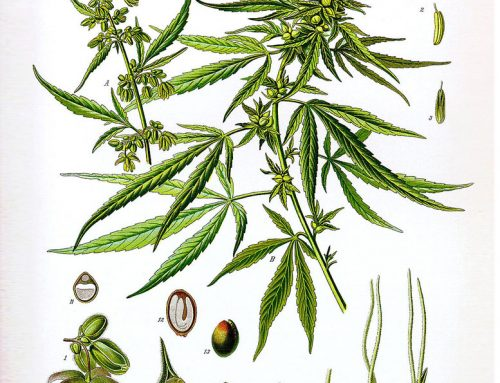 צמח הקנאביס